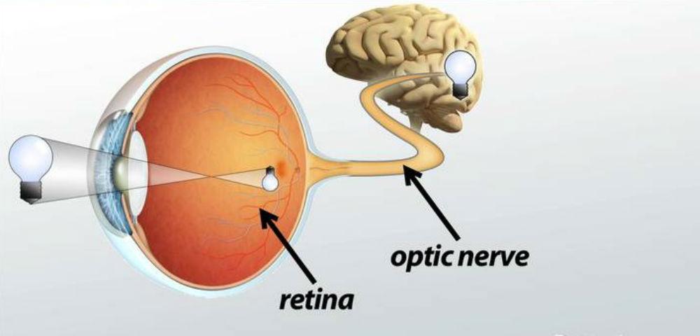 Thần kinh thị dẫn truyền tín hiệu đến vỏ não vùng chẩm